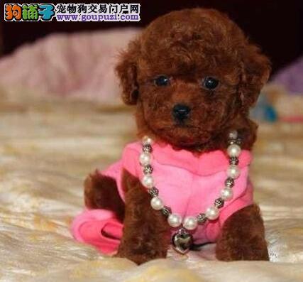 疫苗驱虫齐全的深圳泰迪犬找爸爸妈妈 一分价钱一分货