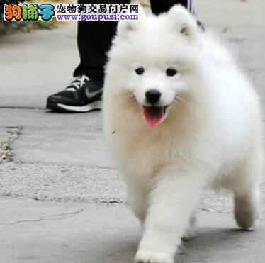 微笑天使版的武汉萨摩耶低价转让 请上门选购看狗