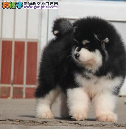 赛级品相黔东南州阿拉斯加犬幼犬低价出售冠军级血统品质保障