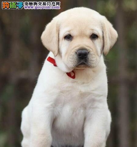 出售拉布拉多宝宝、假一赔十纯度第一、购犬可签协议