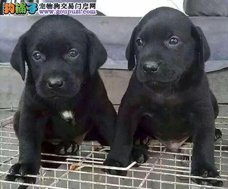 哈尔滨实体店出售拉登血系拉布拉多犬 已做进口疫苗