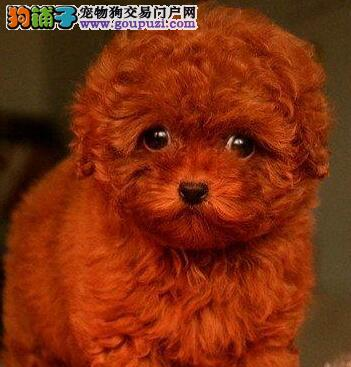 顶级优秀犬舍预售纯种哈尔滨泰迪犬 血统纯正有证书
