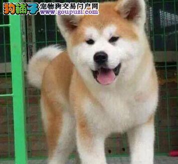 直销赛级日系哈尔滨秋田犬保质量签订终身协议
