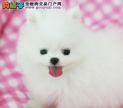 正规犬舍直销纯种博美犬哈尔滨地区购犬可送用品