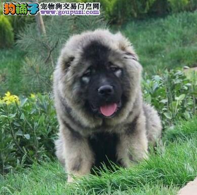 正规专业狗场直销大骨架济南高加索犬 可赠送狗笼子
