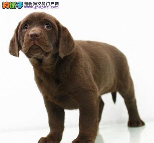 精品成都拉布拉多犬低价出售欢迎大家上门挑选