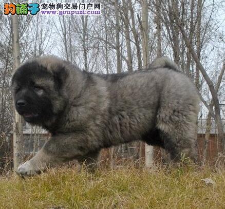 优惠价格出售大骨架高加索犬 黄浦周边建议上门挑选