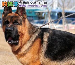 长沙正规养殖基地直销德国牧羊犬疫苗齐全可上门看狗