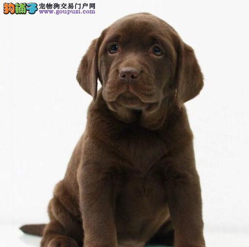 养殖场直销精品哈尔滨拉布拉多犬疫苗齐全可签协议