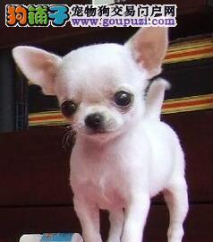 北京自家狗场繁殖直销吉娃娃幼犬包售后包退换
