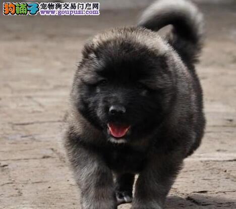 超低价出售健康的温州高加索犬 顶级护卫犬您值得拥有