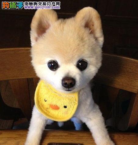 出售纯种健康的佳木斯博美犬幼犬质保协议疫苗驱虫齐全