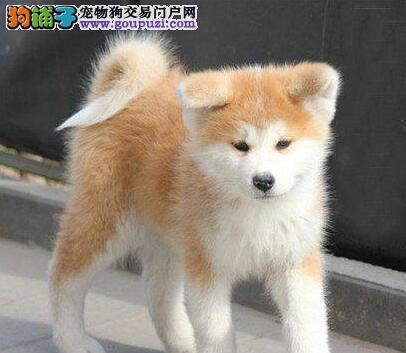 昆明正规犬业直销日系纯正血统的秋田犬 十年信誉犬业