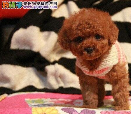 自家精品玩具泰迪熊甜甜の小娃娃!100纯度健康!