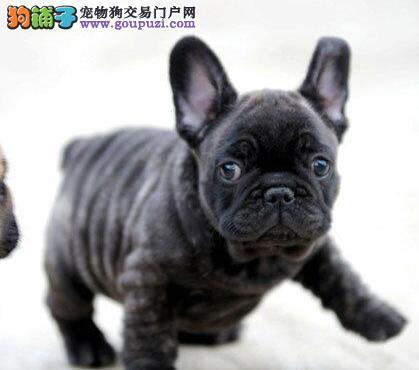 权威机构认证犬舍 专业培育法国斗牛犬幼犬全国当天发货