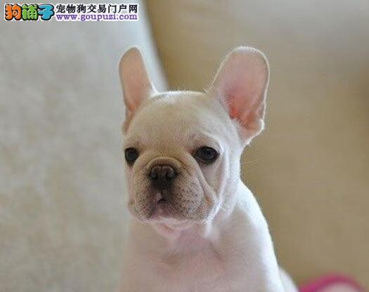 南京自家狗场繁殖直销法国斗牛犬幼犬专业繁殖中心值得信赖