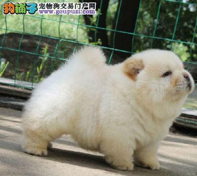 低价转让大嘴紫舌杭州松狮犬品质保证驱虫已做