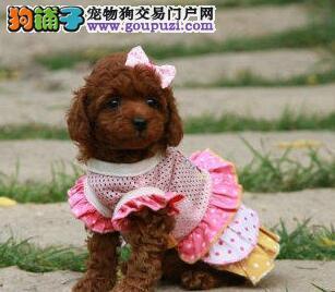 出售正宗优秀韩系血统南宁贵宾犬 进口驱虫疫苗已做好