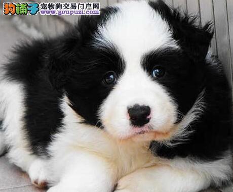繁育基地促销高品质边境牧羊犬杭州市区可上门选购