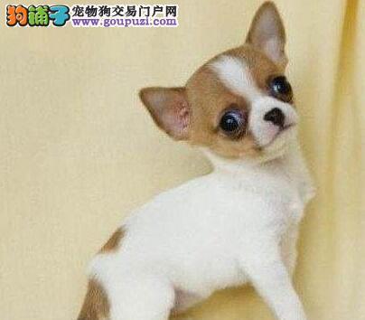 银川自家狗场繁殖直销吉娃娃幼犬欢迎您的指导