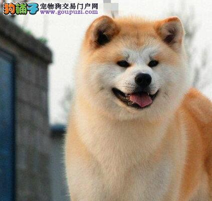 正规基地转让纯日系杭州秋田犬颜色亮丽包养活