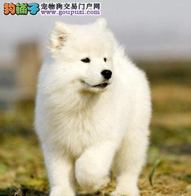 赛级品质微笑天使三亚萨摩耶出售 可当面看狗可空运