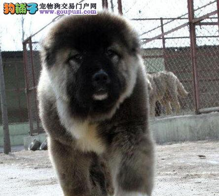 原生态顶级护卫东莞高加索犬低价出售 非诚勿扰