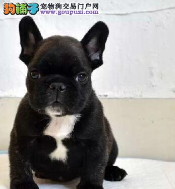 法国斗牛犬幼犬出售中,金牌店铺品质第一,购买保障售后