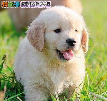 极品金毛幼犬,金牌店铺品质保障,签署合同质保
