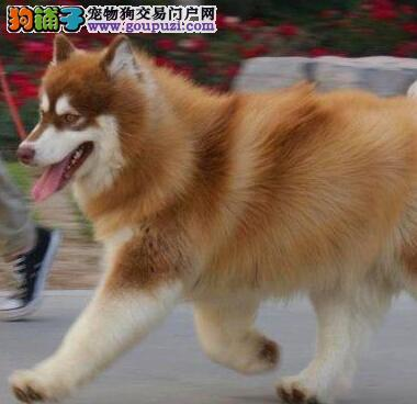 出售纯种阿拉斯加犬,欢迎选购信誉第一,实物拍摄可见父母,签署合同质保