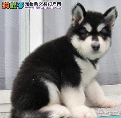 阿拉斯加犬找新家 可看狗狗父母照片 购买保障售后
