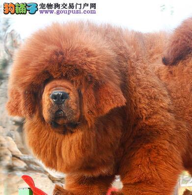 国际注册犬舍 出售极品赛级藏獒幼犬送用品送狗粮