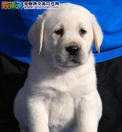 正规养殖基地热销优秀深圳拉布拉多犬 聪明能干保健康