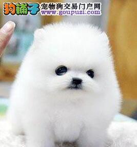极品博美犬出售、保证品质一流、诚信经营保障