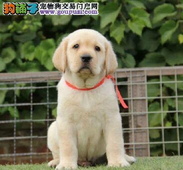 CKU认证犬舍出售纯种哈尔滨拉布拉多犬有健康保障