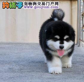 巨型 红色 黑色 阿拉斯加雪橇犬犬舍诚信出售