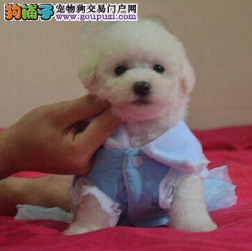 南京知名的犬舍出售聪明的比熊宝宝 保品质健康售后