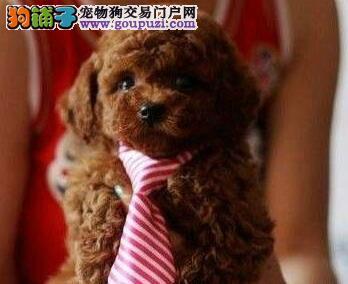 出售颜色血统齐全的兰州泰迪犬 喜欢的朋友不要错过啦