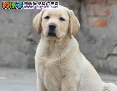 出售纯种冠军血统拉布拉多犬 无锡市内可送狗到家