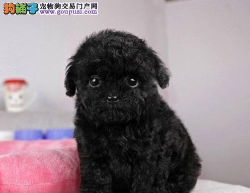 出售南京泰迪犬专业缔造完美品质终身售后协议