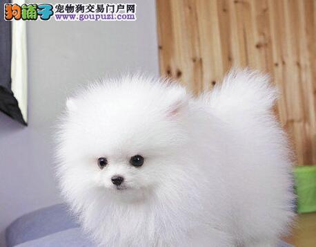 黑灰色纯白色的太原博美犬低价处理 求好心人上门选购