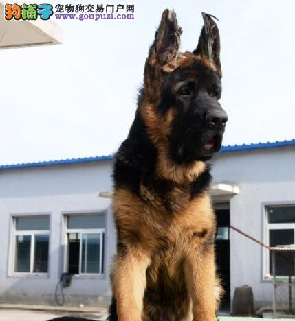 运城养殖场出售锤系血统的德国牧羊犬 签订售后协议书