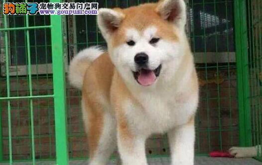 纯种秋田幼犬出售 血统正宗 品相好秋田犬 疫苗齐全