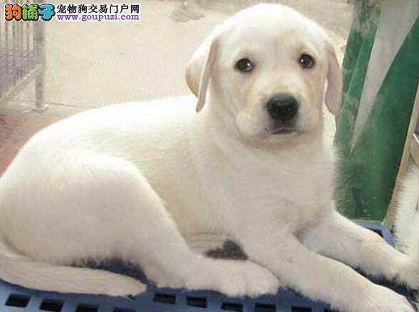 宁波专业犬舍出售纯种健康拉布拉多犬 已做好进口疫苗