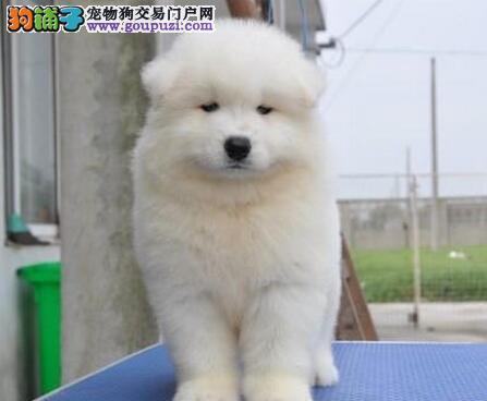 渝中知名犬舍低价出售萨摩耶宝宝 大量宠物狗免费赠送