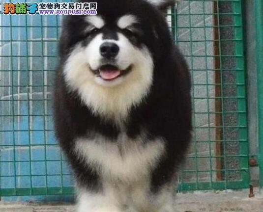 肥嘟嘟巨型的阿拉斯加犬找新家 珠海市内免费送货上门