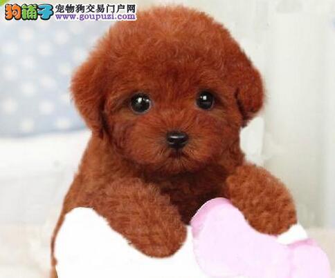 泰迪犬最大的正规犬舍完美售后狗贩子请勿扰