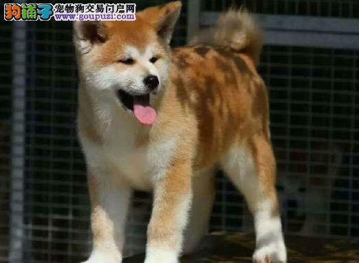 靓丽活泼毛色纯正忠诚老实的重庆秋田犬超低价出售中