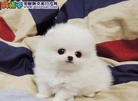 出售纯种博美犬 假一赔十纯度第一 绝对信誉保证