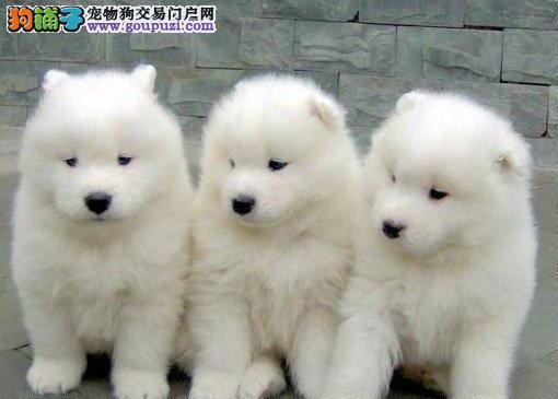 萨摩 深圳哪里有萨摩耶犬卖?出售洁白迷人萨摩